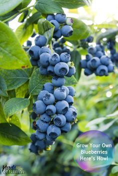 Grow Your Own Blueberries--Here's How! || All About growing your own delicious blueberries #garden #blueberries #easy