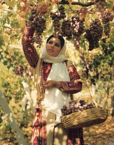 Picking Grapes In Hebron, Israel