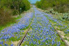 Bluebonnets on old railroad tracks off CO 302 near Kingsland, Texas