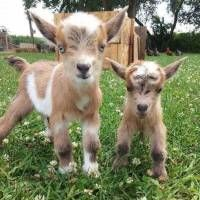 Baby animals are all adorable, and in my humble homesteading opinion baby goats are one of the cutest! Here's a list of the cute baby goats, cute pygmy goats, cute nigerian dwarf goats, cute baby mountain goats.... and just about the cutest baby goats you will ever see!  They will surely leave a smile on your face.