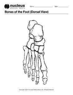 Drawing to show the bones of the right foot dorsal or top view