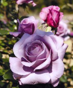 Secret Perfume, Hybrid Tea rose. Jackson & Perkins, 2009