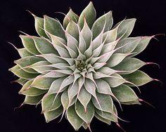 Echeveria agavoides x Graptopetalum filiferum