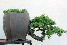 This bonsai pot won the Gold Prize at the Hue Festival 2014. Rooftop bonsai gardens, Saigon