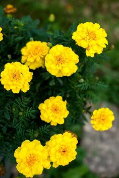 Beautiful pale yellow double flowers are 2 inches across on 12 inch tall plants. Foliage is dark green and is a great contrast with the blooms. A stunning shade that mixes well with any color theme. G