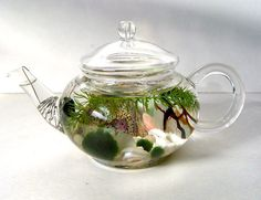 "SALE! Mini Glass Teapot ""Green Tea"" Marimo Moss Ball Aquarium Terrarium"
