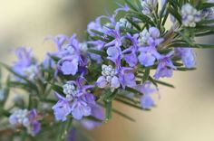 Rosemary is one of the oldest healing herbs and is popular in today's herb gardens; Rosemary is both a culinary and medicinal herb, with many healing properties. Healing Herbs, Medicinal Herbs, Natural Healing, Garden Shrubs, Herb Garden, Vegetable Garden, Rosemary Flower, Rosemary Plant, Gardens