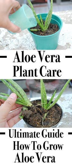 Aloe Vera Plant Care: The Ultimate Guide For How To Grow Aloe Vera Whether you're growing aloe vera indoors or outdoors, the care is the same. Learn how to grow aloe vera in this detailed aloe vera plant care guide. Aloevera Plante, Outdoor Plants, Garden Plants, Herb Garden, Outdoor Gardens, Aloe Plant Care, Growing Aloe Vera, Banana Plants, Banana Plant Care