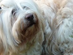Benjamin, my Tibetan Terrier... he's better thank goodness