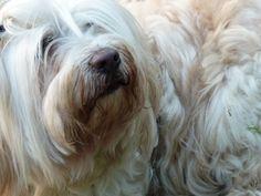 Benjamin, my Tibetan Terrier... he's better thank goodness