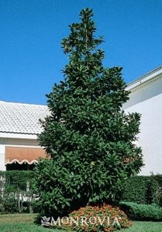 Edith Bogue Magnolia. 30' x 15'. Moderate Grower. White Blooms. Evergreen.