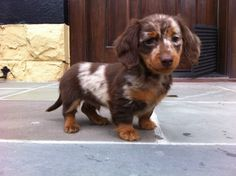 I love Ernie. He's a star in NW DC.   (chocolate dapple long haired miniature dachshund)