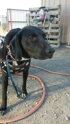 12/03/14-URGENT ODESSA - OWNER SURRENDER Lab female 2 yrs old Available NOW**** $51 to adopt She was surrendered b/c her owners are elderly and in the hospital. If you would like to adopt show the front desk this picture and ask for kennel info. Located at Odessa, Texas Animal Control. Must have a valid Drivers License and utility bill with matching address to adopt. They accept Credit Cards, cash or checks. Please send us a PM if we can answer any questions for you.