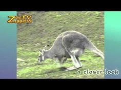 """ZooZappers - Kangaroo family - Kangoeroe   Footage info: http://www.stockshot.nl/ ©  Music title:cherryblossom BY Kevin MacLeod www.incompetech.com  licensed under Creative Commons """"Attribution 3.0"""" ©"""