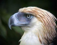 Małpożer, Orzeł filipiński (Pithecophaga jefferyi).  A Philippine eagle