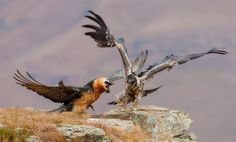 The Bearded Vulture (Gypaetus barbatus), also known as the Lammergeier or Lammergeyer, is a bird of prey. The Bearded Vulture is sparsely distributed across a considerable range. It may be found in mountainous regions from Europe through much of Asia and Africa.