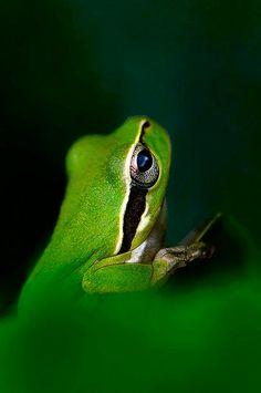 green frog....