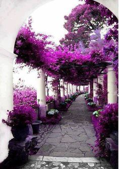Purple Raspberry Canopy over the Path