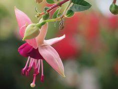 Fuchsias Flowers Fuchsia