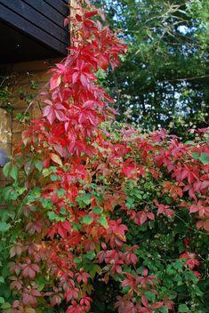 Almbacken: Virginia creeper and clematis 'Summer Snow' - the wooden deck in October Virginia Creeper, Snow In Summer, Cottage Door, Wooden Decks, Autumn Garden, Creepers, Garden Plants, Vines, Pergola