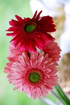 Gerber daisies from Costco