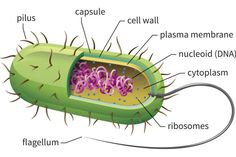 Prokaryotes: Bacteria and Archaeans: Prokaryotic Cell Structure
