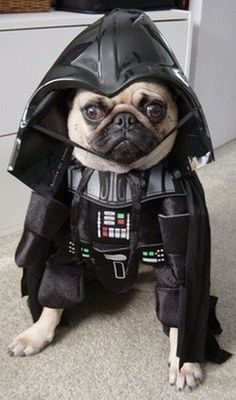 Are you a Pug Mom? Learn these essential pug facts to understand her/his personality & behaviors. Helpful & important pug tips to keep your pug safe, healthy & happy. Pugs In Costume, Dog Halloween Costumes, Pet Costumes, Happy Halloween, Funniest Costumes, Yoda Costume, Awesome Costumes, Funny Costumes, Halloween Dress