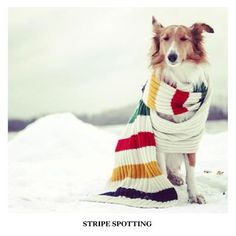 Do I look okay with this scarf? Hudson Bay Blanket, Huge Dogs, Work Socks, Fur Trade, Bearded Collie, Color Themes, Colors, Lap Dogs, Winter Essentials