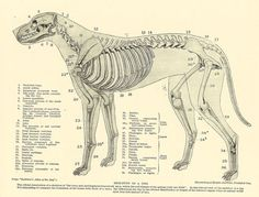 Vintage 1935 Dog Veterinary Print Skeleton Of Dog Anatomy Of Dog Canine Skeleton Dog Bones Book Illustration Book Plate by printsandpastimes on Etsy