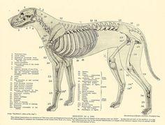 Vintage 1935 Dog Veterinary Print Skeleton Of Dog Anatomy Of Dog Canine Skeleton Dog Bones Book Illustration Book Plate by printsandpastimes on Etsy