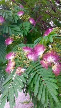 We had this tree growing up. It was beautiful and smelled wonderful! Flowers Nature, Tropical Flowers, Spring Flowers, Trees And Shrubs, Flowering Trees, Exotic Plants, Cactus Plants, Planta Mimosa, Full Sun Perennials