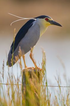 Black-crowned night heron by Alejiga (Alejandro Jimenez)