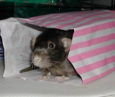 Home made rat toys:.So much fun for ratty friends at no cost