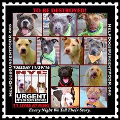 """11 BEAUTIFUL LIVES TO BE DESTROYED 11/29/16 @ NYC ACC **SO MANY GREAT DOGS HAVE BEEN KILLED: Puppies, Throw Away Mamas, Good Family Dogs. This is a HIGH KILL """"CARE CENTER"""" w/ POOR LIVING CONDITIONS. Please Share: To rescue a Death Row Dog, Please read this: http://information.urgentpodr.org/adoption-info-and-list-of-rescues/"""