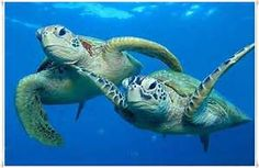 sea turtle pictures - Bing images