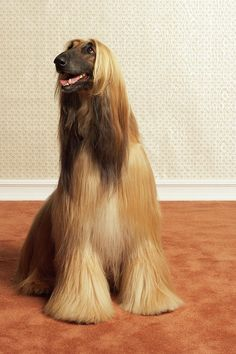 Afghan Hound- Love these dogs , very smart but way too energetic for me :(