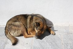 For all its remarkable beauty, #Santorini, #Greece has an ugly side - stray dogs roam almost every street corner, though they are often very friendly and docile and do not burden the citizens and tourists.