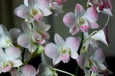 Royal Thai Orchid: Dendrobium 'Pink Nagarindra' - Flickr - Photo Sharing!
