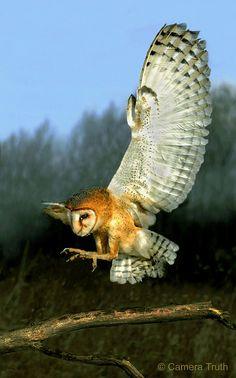 Barn Owl landing.