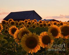 Faces of Sunflowers by Deborah Berry