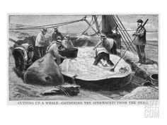 Cutting Up a Whale - Gathering Spermaceti from the Head Giclee Print at Art.com