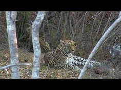 (88) WE pay tribute to the great Leopard Queen of Djuma Karula! - YouTube 5-2017