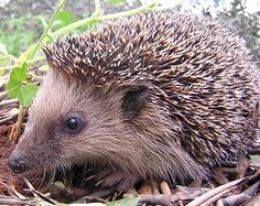 A hedgehog is any of the spiny mammals of the subfamily Erinaceinae, in the eulipotyphlan family Erinaceidae. There are seventeen species of hedgehog in five All Nature, Amazing Nature, Nature Blogs, Nature Study, Mus Musculus, African Hedgehog, Canis Lupus, Desert Environment, Animales