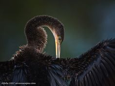 ~~Anhinga preening by Fabiola Forns, Avianscapes Photography~~