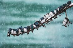 https://flic.kr/p/9J6Pqg | Seemingly Surreal Swallows in a Spring Snowstorm | Must be viewed large-- click on it:) Though it was an exceptionally cold winter and spring, a snowstorm in Mid-may is unheard of here. Unfortunately, a large group of recently-arrived migrating Tree Swallows got caught in the storm and had to hunker down on the tree branches overlooking the Yukon River, and wait it out. I feared the worst would happen during the 24 hour storm, and was worried sick that they would…