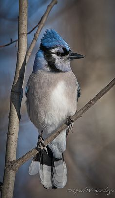 Birds ©: Blue Jay (cyanocitta cristata) [{Aspen Parkland along the east boundary of Elk Island National Park, Alberta, Canada; Pretty Birds, Love Birds, Beautiful Birds, Animals Beautiful, Small Birds, Little Birds, Colorful Birds, Animals Tattoo, Blue Jay Bird