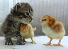 Kitten + Baby Chicks