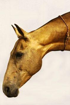 Golden Akhal Teke horse face profile.