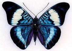 God painted this with his finger tips.what a wonderful thought. - God painted this with his finger tips….what a wonderful thought. Butterfly Drawing, Butterfly Pictures, Butterfly Painting, Butterfly Wallpaper, Blue Butterfly, Butterfly Wings, Art Papillon, 1 Tattoo, Tier Fotos