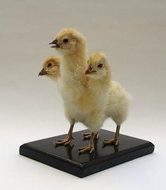 Three headed four legged chicken taxidermy curiosity by Casper's Creatures